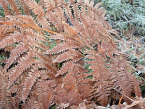 fern with frosting r