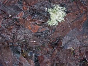 lichen frost r
